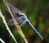 Slate blue Dragonlet?