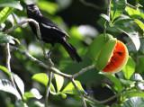 Cuban Bullfinch with its fruit