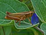 Brown Grasshopper on Datura Leaf