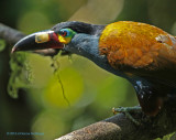 Plate - Billed Mountain -Toucan
