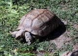 A Land Turtoise