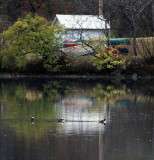 Hooded Mergansers by the Boathouse