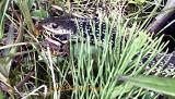 Snake eating a pickerel frog!