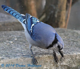 Blue Jay on the Patio Looking for Seed
