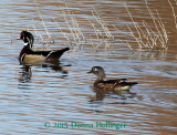 Wood Duck Pair