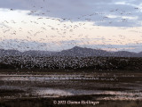 Dawn Flocks of Geese