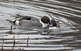 Duelling Blue Beak Pintails
