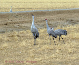 3 Sandhill Cranes With a fourth in the Background