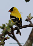 Male GoldFinch in Our Yard