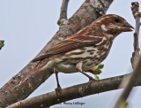 Fox Sparrow (thank you Tom!)