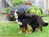 Bearnise Mountain Dog