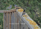900.juncos.0940.copy.jpg