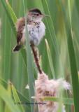 Fluffball Marsh Wren (Cistothorus palustris) collecting Cattail Fluff