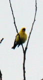 High up GoldFinch
