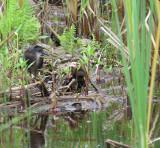 Vt WILD and Rutland Wetland IBA