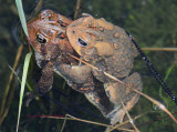 Mating American Toads Producing Eggs