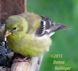 Immature Goldfinch on the Feeder