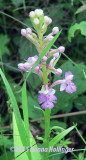 Purple Fringed Orchid at Flora's Fen