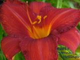 Deep Red Daylily With a Yellow Throat