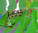 Hickory Horned Devil Caterpillar