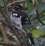 Immature Male Rose Breasted Grosbeak