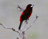 Crimson-backed Tanager