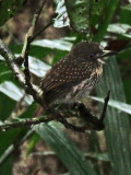 White Whiskered Puffbird