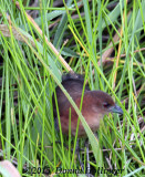 One White-throated Crake