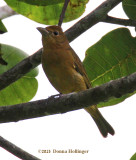 Summer Tanager?
