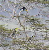 Three Keel-billed Toucans Decorating a tree