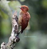 Cinnamon Woodpecker (Celeus loricatus)