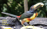 Collared Aracari Eating a Banana