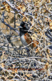 Spotted Towhee Hiding from Donna