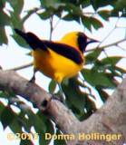 Yellow Backed Oriole (Icterus chrysater)