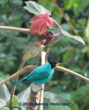 Green Honeycreeper on a Cecropia Tree