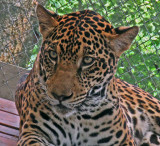 A Closeup of Fiona (Jaguar) at the APPCPANAMA.ORG