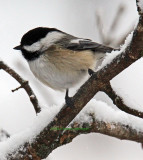 Chicadee in Sharon Vermont