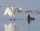 White Morph of a Reddish Egret