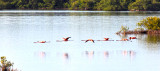 Greater Flamingos Flying