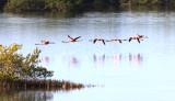 The Chorus Line of Greater Flamingos