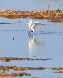Reddish Egret Feeding Behaviour