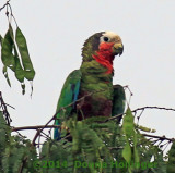 Cuban Parrot at Dusk (a lens correction helped the color)