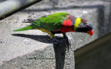 A lorikeet in Bali Bird Park