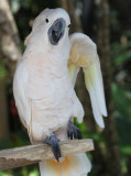 The Exuberant Cockatoo