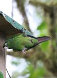 Endemic El Oro Parakeet (Pyrrhura ocresi)