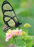 Clearwing Butterfly on Lantana in Zamorra Park