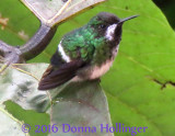 Green Thorntail (they are only 2.5 inches tall!)