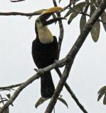 Toucan calling his pals!