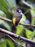 Ornate Flycatcher!