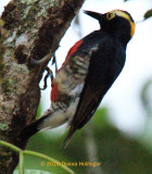 Yellow-tufted Woodpecker